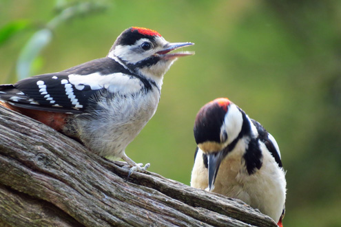 Male and Juvenile Great Spotted Woodpecker